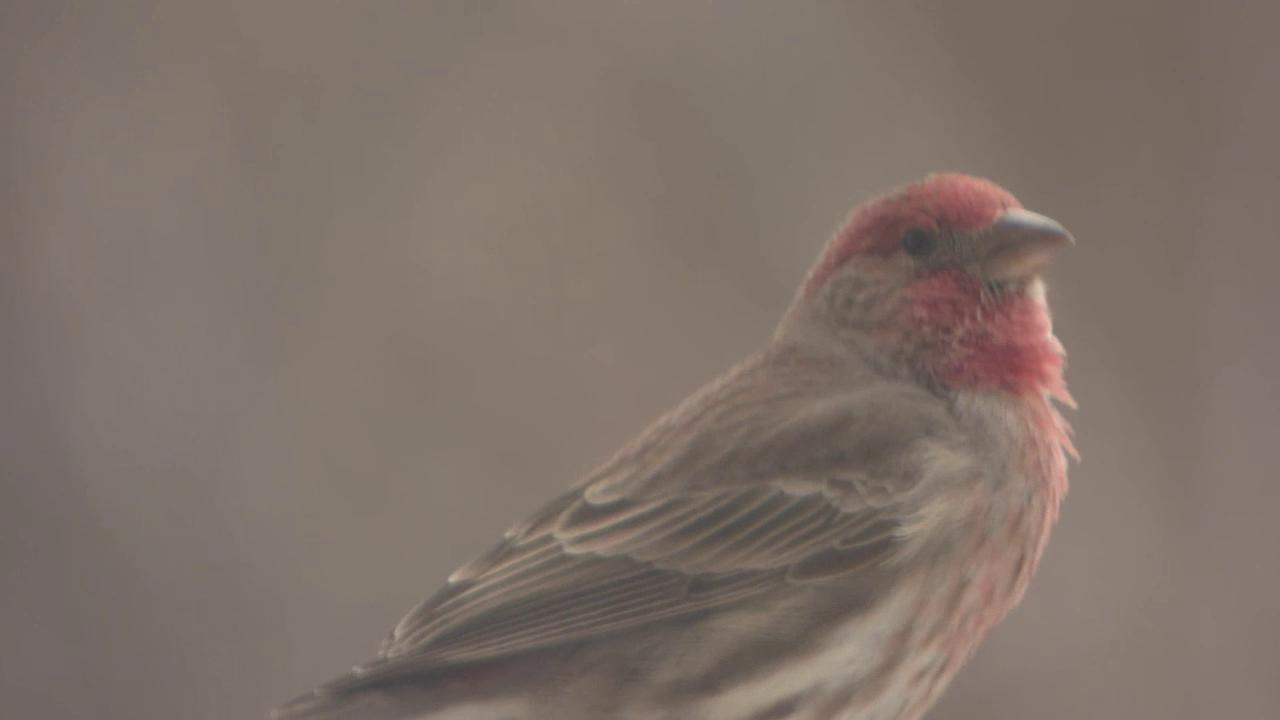 Red-headed thrush's spring songs